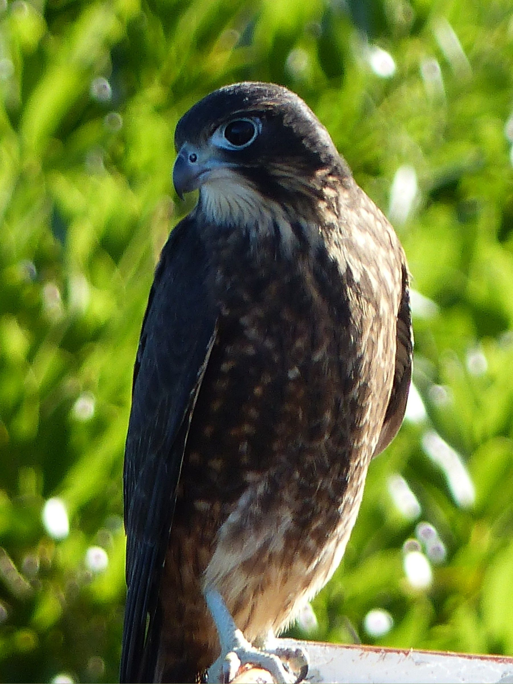 New Zealand falcon on the roof